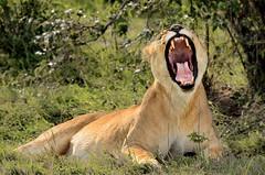 leona (pukito79) Tags: kenya kenia masaimara leona nikkor70300vr nikond7000 pukito79