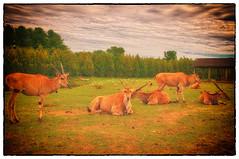 Take it Easy  Painterly Look (jta1950) Tags: wild painterly nature animals painting zoo wildlife antlers herd d300 parcsafari