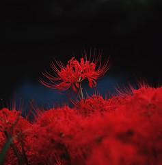 Tsuyagawa111001d (FJK80046) Tags: flower japan  gifu spiderlily higanbana     tsuyagawa