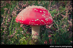 Dunwich Heath Mushroom-1 (Steven Docwra) Tags: autumn trees mushroom leaves forest woodland photography suffolk nationalpark heather heath dunwichheath flyagaricmushroom october2011 stevedocwra dunwichnaturereserve