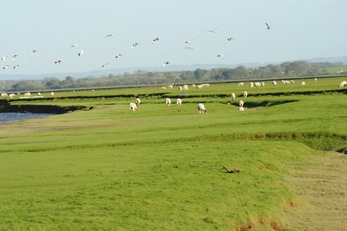 Solway Firth Grazing and Birdlife