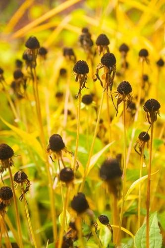 rudbeckia seedheads v  668