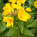 Yellow Sundrops