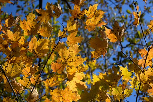 autumn_leaves_2011 by jim.colleran