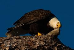 American Bald Eagle (Nature Photos by Scott) Tags: wild bird nature birds eagle florida greenwoodcemetery birding birdofprey americanbaldeagle ouitdoors scotthelfrichphotographycom