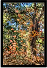 Autumn Color (scrapping61) Tags: california friends nature forest expression gilroy legacy tqm netart tmi ols tistheseason swp artisticphotos 2011 rockpaper theperfectphotographer gilroyhotsprings scrapping61 maxfudge awardtree qualitysurroundings jotbes daarklands legacyexcellence galleryofdreams trolledproud finesttrees exoticimage heavensshots primephotos pinnaclephotography poeexcellence rockpaperexcellence modernsclassics netartii redgroup1