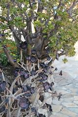 Monaco'ExoticGarden 11'0926 - 011 (studio-d) Tags: cactus monaco prickly succulents exoticgarden jardinexotiquedemonaco