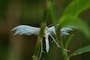 ptérophore commun (armelle chapman) Tags: sony blanc insectes ptérophore