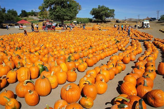 Pumpkin patch