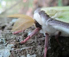 Luna moth antennae