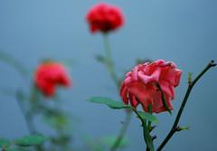 Original Sin (Chilk2411(Peaceful Lullabies...)) Tags: original beauty rose nikon sin kit 1855 wilting d80 chilk