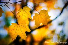 Autumn Bokeh Burnout (Oliver Wood Photography) Tags: autumn colour fall niceshot cheshire prestbury flickraward prestbury2