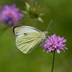 Piride (Pieris sp.) (Sinkha63) Tags: summer france macro nature animal butterfly wildlife lepidoptera papillon corrze limousin pieris beynat insecta et pieridae pierinae lpidoptre piride 19corrzelimousin