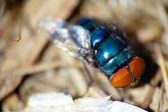 Sparkling Blue (www.leonardocarneirofotografia.com) Tags: brazil macro azul brasil canon fly portoalegre 7d supermacro mosca dcr250 raynox varejeira eos7d canon7d leocarida