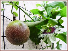 Flowering Passiflora edulis (Purple Passionfruit, Purple granadilla) with ripened fruit