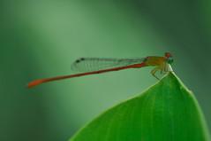 Damselfly meet  ... ( Frog) Tags: garden kuala kl butterflypark klbutterflypark lumpurlake