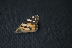 (E-d-i-t-h-a) Tags: butterfly schmetterling fragment vanitas flügel schmetterlingsflügel