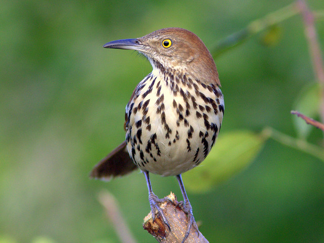 Brown Thrasher 4-20111107