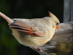 DSC01275 (rhombidec) Tags: female cardinal baltimore sonydschx100v