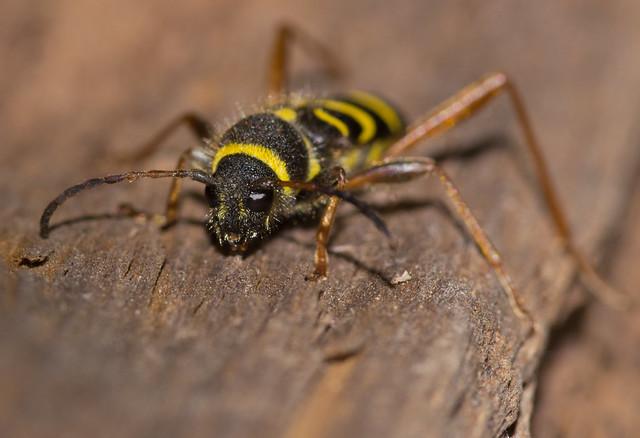 wasp beetle 4