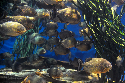 aquaria piranha800
