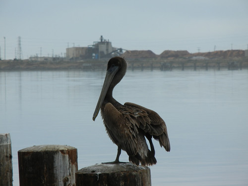 Pelican in Eureka, California _ 7418