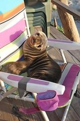 baby seal pup (Karol Franks) Tags: baby seal pup carpinteria ca socal santabarbaramarinemammalcenter karolfranksgmailcom ©2014 karolfranks ©karolfranks okarolyahoocom
