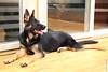 Puppy (wmliu) Tags: dog puppy platz germanshepherd 6months wangwang wmliu