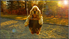 Taking Beefy For A Swing (LostMyHeadache: Absolutely Free *) Tags: park trees winter dog pet sunlight cute love nature grass leaves fence nikon rocks afternoon zoom beefy swings lensflare aww rays cockerspaniel bushes davidsmith calgaryalbertacanada