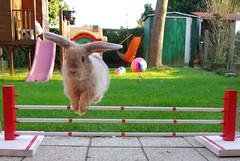 Super bunny jump ! (r2-detoo) Tags: holland cute rabbit bunny bunnies love smile little sweet conejo adorable mini lopear bun lapin nugget mignon lop nain blier conajo coneja