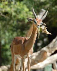Southern Gerenuk at Wild Animal Park in Escondido-03 2-24-09