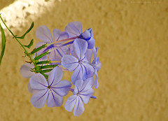 Spirit of the Knights (VillaRhapsody) Tags: blue flower wall garden greece rhodes plumbagoauriculata challengeyouwinner blueplumbagos spiritofthenights