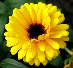 Sunkiss (Andylinchen) Tags: summer sun flower macro home nature colors yellow canon germany garden deutschland petals natur blte g10 canonpowershotg10