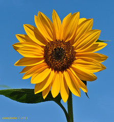 Happy Thanksgiving Day (oomphoto) Tags: flower yellow bright sunny bluesky yellowflower thanksgivingday sunflower happythanksgivingday nikond90 nikonnikkorafsvrmicro105f28gifed
