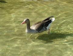Nyri ld / Anser anser / Greylag Goose (granada_turnier) Tags: wild animal zoo goose veszprm anser greylag nyri ld