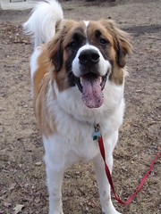 Happy Boy! (tikicat90) Tags: puppy browndog cutedog stbernard greatpyrenees diggingdog
