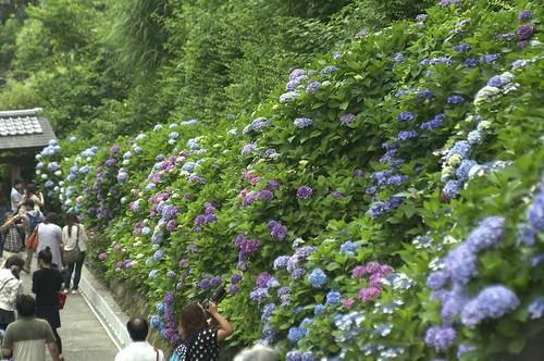 Hydrangea at Kamakura by keganimushi
