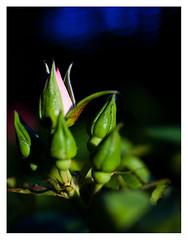 Last rays of the sun 4 (leo.roos) Tags: flowers blue red sun green rose zeiss jena buds flektogon czj a900 flektogon3524 darosa julyjazz leoroos