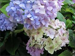 Hydrangea color variations