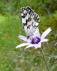- (jvcucho) Tags: mariposa libar jvcucho