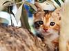 Tree Dweller (pantha29) Tags: tree leaves cat fur leaf kitten branch ears olympus bark stare zuiko lostcat hiddencat miaow treedweller whiskas e510 1260mm foundinthetree hiddenintree