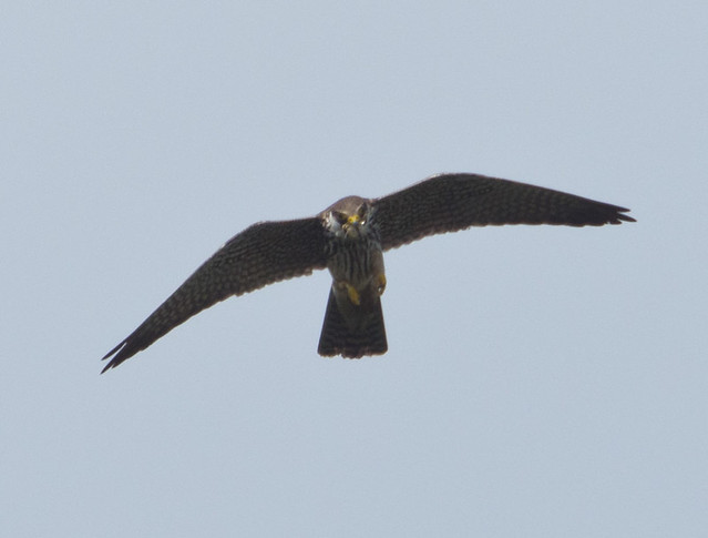 hobby eating dragonfly 2