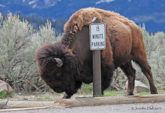 Parking Bison - 5716bsg (teagden) Tags: park sign spring buffalo parking 15 explore national yellowstone scratch bison ynp scratching minute 2011 yellowstonepark jenniferhall