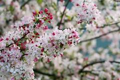 Blossom Overload (Jaime Carter) Tags: pink flowers blue newzealand white flower cherry petals spring dof blossom bokeh hamilton fluffy waikato cherryblossom sakura waikatouniversity universityofwaikato cmwd cmwdpink jaimewalsh jaimecarter