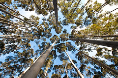 trees (dalinean) Tags: trees tree green forrest wide perspective sigma australia plantation westaustralia sd15