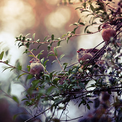 Anew (Standard Deluxe) Tags: autumn bird leaf bokeh housesparrow treebranch 200mm 200l canonef200mmf28liiusm