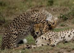 DSC_8670 (naomipics) Tags: africa togetherness kenya safari mara masai maasai masaii kicheche matchpointwinner mpt342