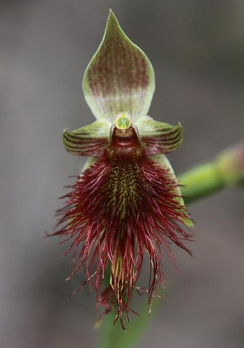 Calochilus species