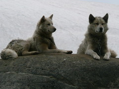 Greenland Dogs (also known as Greenland Husky)
