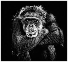 APE (Scottspy) Tags: blackandwhite bw animals monkey sad faces chimp wildlife monkeys chimpanzee primate apes chimps wildanimals lonesome kansascityzoo apeshallnotkillape scottspy animalemotion
